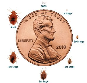 bed bug treament lifecycle